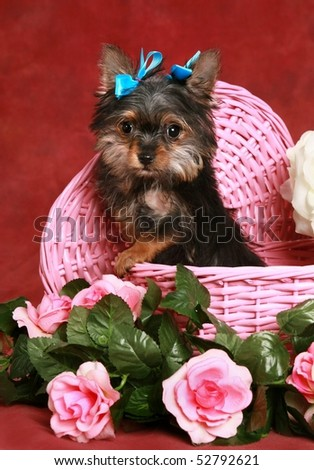 adorable little Yorkie puppy in pink basket with flowers