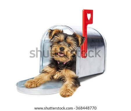 Adorable little Yorkshire Terrier puppy coming out of a metal mailbox with a red heart flag - stock photo