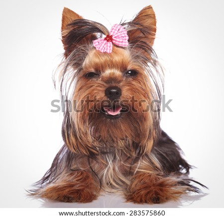 adorable little yorkshire terrier puppy dog looking sleepy with eyes cloed is smiling to the camera - stock photo