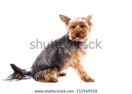 Adorable little Yorkshire terrier sitting sideways with its head turned towards the camera and just the tip of its tongue sticking out, isolated on white - stock photo