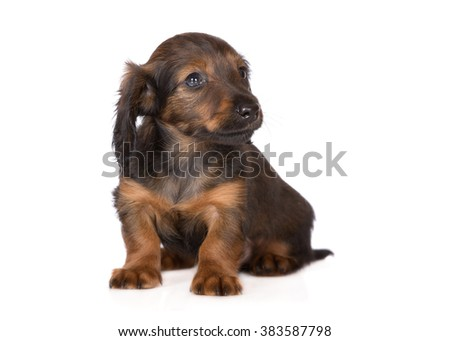 adorable long haired dachshund puppy - stock photo