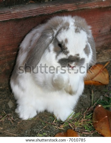 adorable lop-eared rabbit