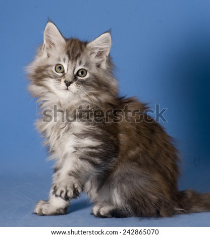 Adorable maine coon kitten. Blue background - stock photo