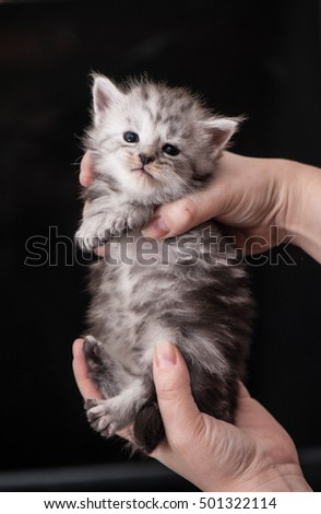 Adorable maine coon little kitten on a hands
