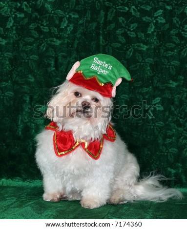 adorable maltese dog with santa's helper hat - stock photo