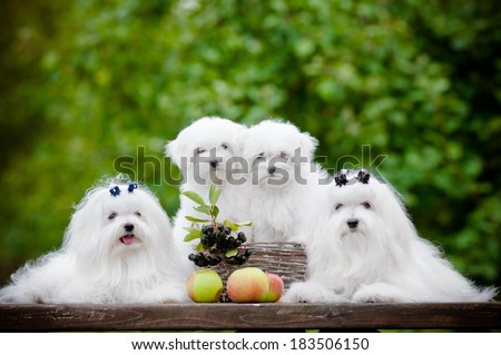 adorable maltese dogs family - stock photo