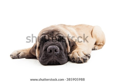 Adorable Mastiff breed puppy laying down sleeping - stock photo