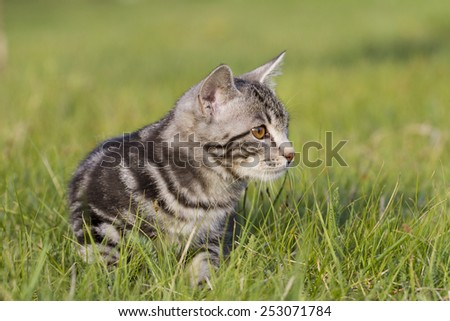 adorable meowing tabby kitten outdoors - stock photo