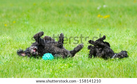 Adorable miniature poodle, and cute toy poodle puppy having a great roll in the grass in the Spring after a very long winter.  - stock photo