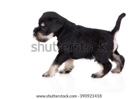 adorable miniature schnauzer puppy - stock photo