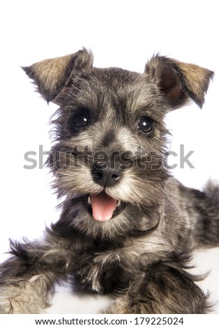 Adorable Miniature Schnauzer puppy headshot isolated on white background - stock photo