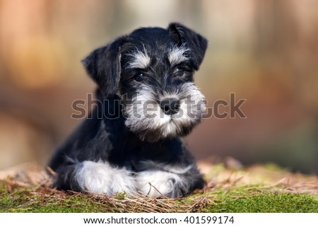 adorable miniature schnauzer puppy lying down outdoors - stock photo