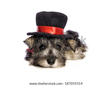 Adorable Miniature Schnauzer puppy lying down wearing red and black top hat isolated on white background - stock photo