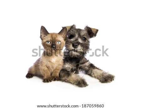 Adorable Miniature Schnauzer puppy lying down with cute Munchkin kitten isolated on white background - stock photo