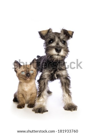 Adorable Miniature Schnauzer puppy with cute Munchkin kitten isolated on white background - stock photo