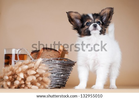 adorable papillon puppy standing - stock photo