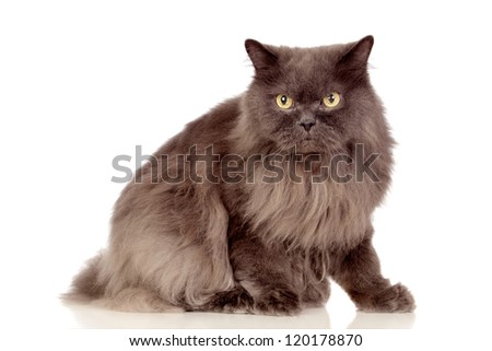Adorable Persian cat isolated on white background - stock photo