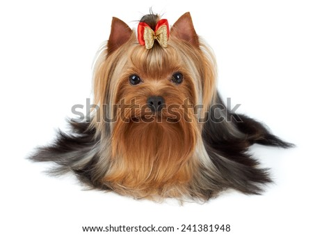 Adorable pet with bow over white. Yorkshire Terrier - stock photo