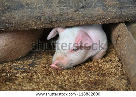 Adorable piglet lying inside wooden shed - stock photo