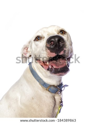 Adorable Pit bull mixed breed dog smiling isolated on white background