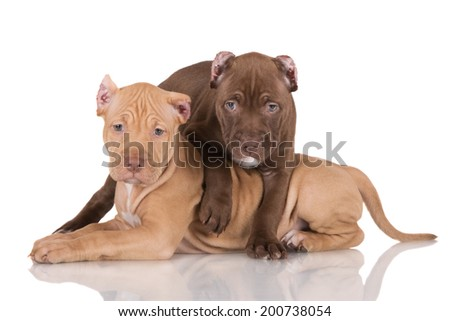 adorable pit bull puppies together - stock photo