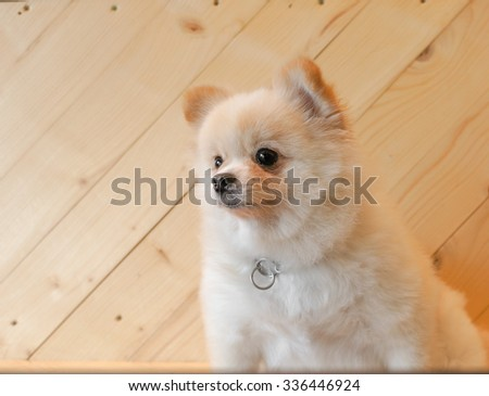 Adorable Pomeranian Puppy Dog Looking away, Wooden Background Selective Focus - stock photo