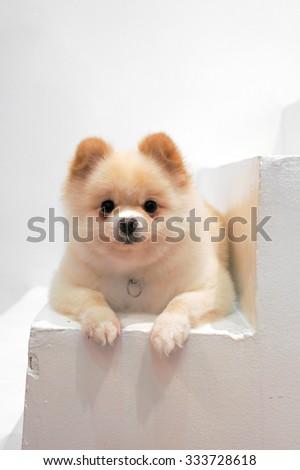 Adorable Pomeranian Puppy Dog on the Staircase, Selective Focus - stock photo