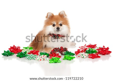 Adorable pomeranian surrounded by Christmas bows isolated on white.