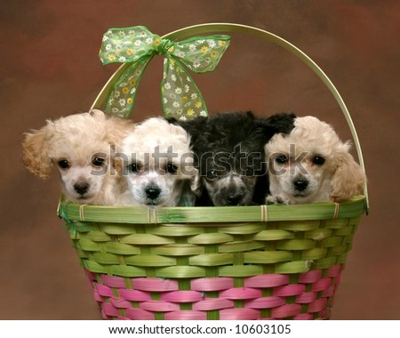 Adorable Poodle puppies in a basket - stock photo