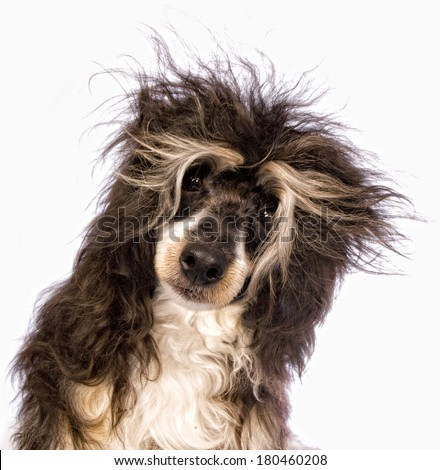 Adorable Powder Puff Chinese Crested dog with bad messy hair isolated on white background