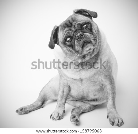 Adorable Pug Dog, Black and White Photo