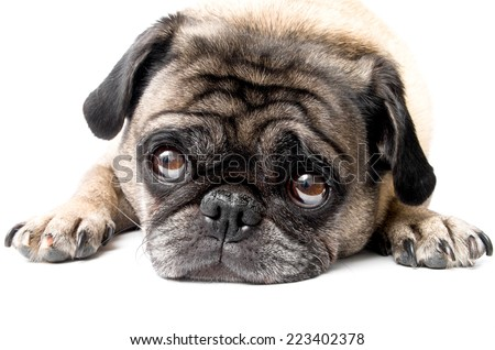 Adorable Pug Dog Looking Cute, White Background - stock photo