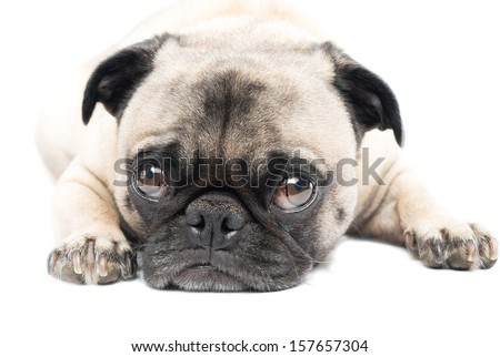 Adorable Pug Dog Lying down, Isolated on a White Background - stock photo