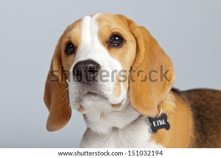 Adorable puppy beagle dog isolated against grey background. Studio portrait. - stock photo