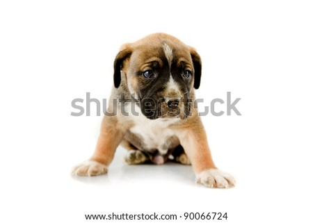 Adorable puppy Boxer on white background - stock photo
