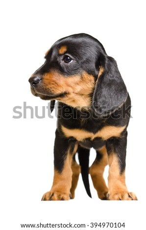 Adorable puppy breed Slovakian Hound isolated on white background - stock photo