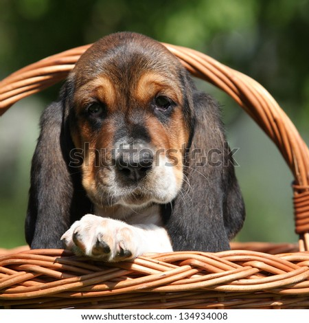 Adorable puppy of basset hound in basket looking directly at you - stock photo