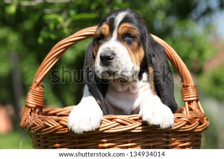 Adorable puppy of basset hound in brown basket - stock photo