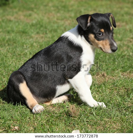 Adorable puppy of Collie Smooth in nice garden