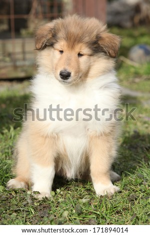 Adorable puppy of Scotch collie with gorgeous look sitting in the garden - stock photo