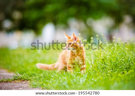 adorable red maine coon kitten outdoors