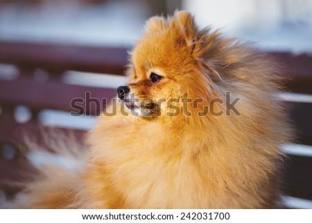 adorable red pomeranian spitz dog portrait - stock photo