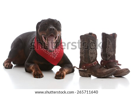 Adorable Rottweiler wearing a bandanna and sitting next to cowboy boots.  Isolated on white. - stock photo