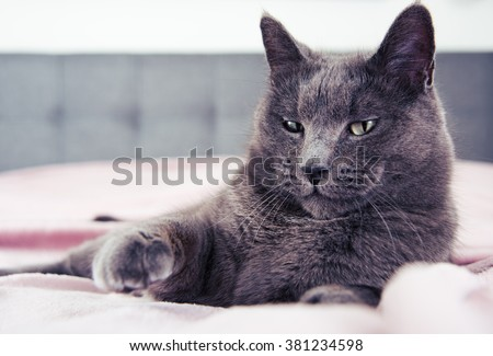 Adorable Russian Blue Cat Mix Fist Bumping  - stock photo