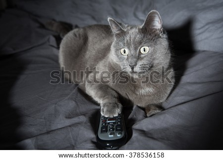 Adorable Russian Blue Cat Mix Watching TV Late at Night in Dark Room - stock photo