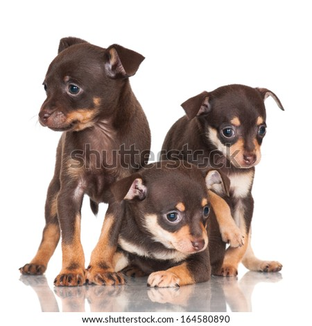 adorable russian toy terrier puppies - stock photo