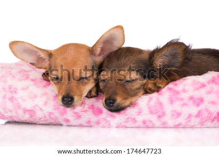 adorable russian toy terrier puppies sleeping