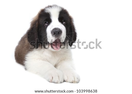 Adorable Saint Bernard Purebred Puppy - stock photo