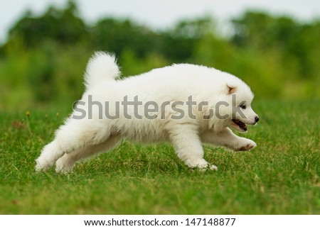Adorable samoyed puppy on the lawn