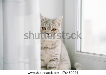 Adorable scottish breed indoor cat portrait - stock photo